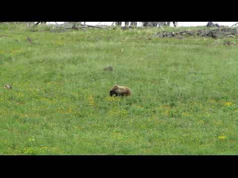 Grizzly Bear with her Cubs - Yellowstone National Park