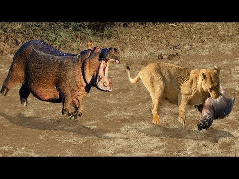 Lions Attacking Hippo Baby. Hippo Mother can Only look in Despair