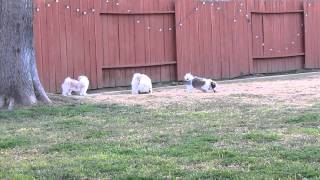 Shih Tzu Puppies And Golden Retriever