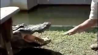 ممنووع لاصحاب القلوب الضعيفه تمساح يأكل يد انسان