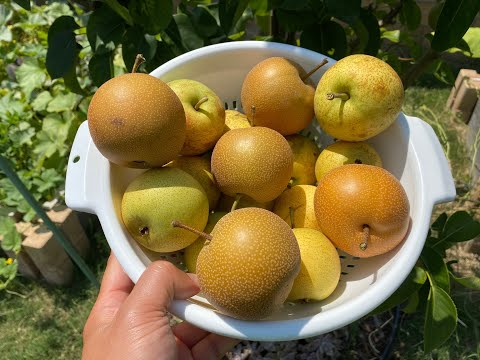 Growing Asian Pear Trees Part 6 – Harvesting Pears