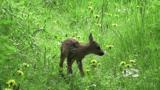 The very first day of a Fawn - Rehkitz erster Lebenstag (Capreolus capreolus)