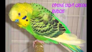 Budgies veriety, colors and their names