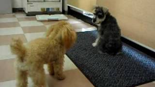 Battle Of 2 Dogs!  (miniature Schnauzer Vs Toy Poodle)