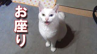 「お座り」と言うと、お座りの芸をする白猫ユキちゃんです♪ 行儀良く座...
