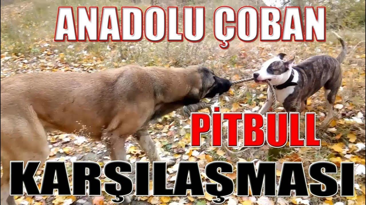#KangalTV MASKOTUMUZ ANADOLU COBAN KOPEGi #AFRiN VE #PiTBULL KOPEGi MAYA KARSILASMASI