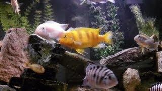 Jay's 55 Gallon African Cichlid Aquarium