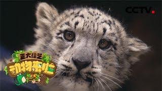 [正大综艺·动物来啦]雪豹宝宝是在干什么?| CCTV