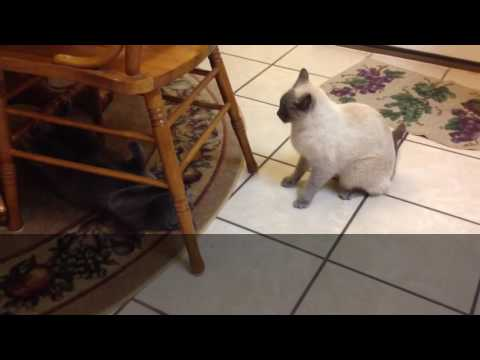 Russian Blue Momma Cat and Siamese Daughter Compilation