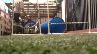 Cairn Terrier Agility Training