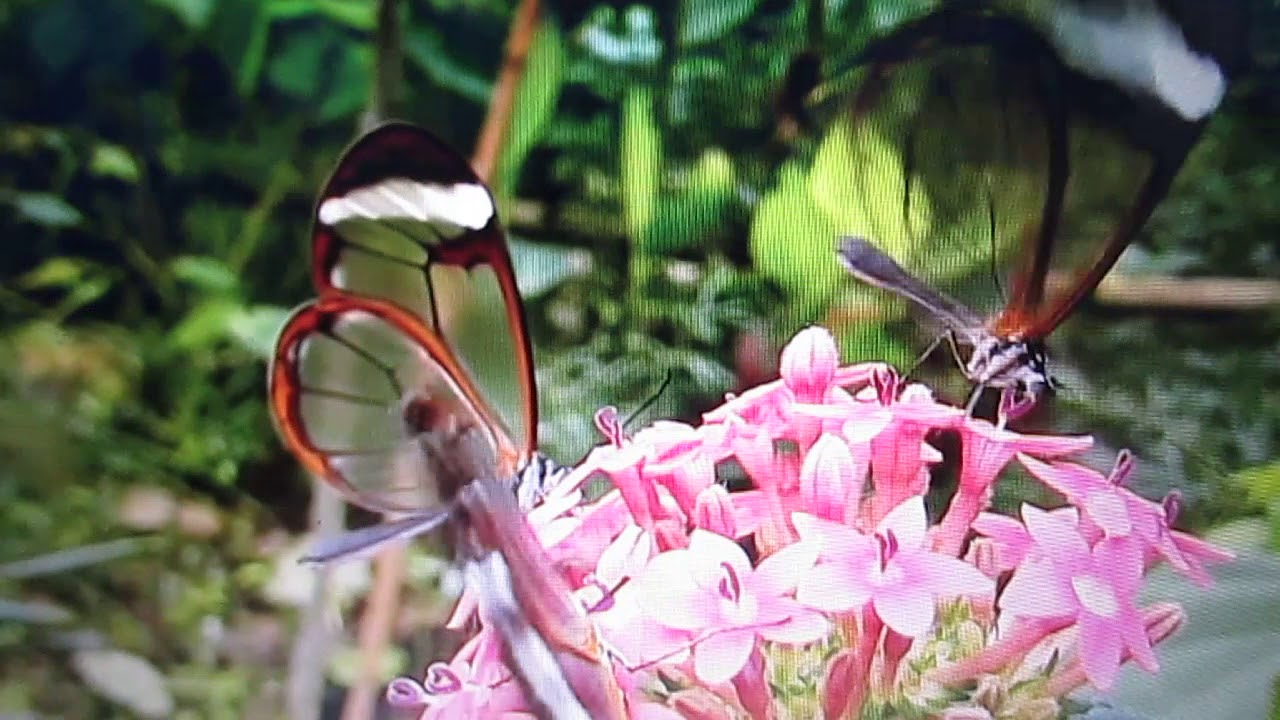 musica borboleta pequenina marisa monte