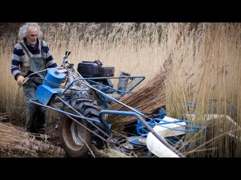 How to harvest water reed for thatching