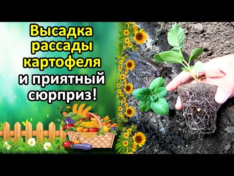 Базилик - выращивание, посадка, хранение.