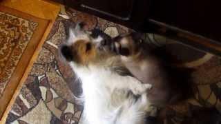 Бивер йорк метис Гоша и кошка