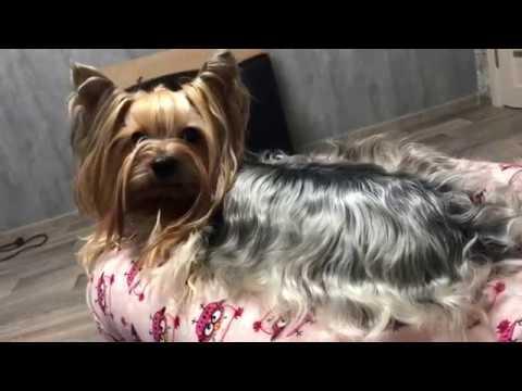 DOGVLOG: собака гадит,как приучить к улице? йоркширские терьеры.