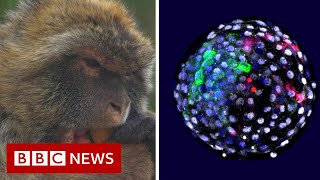 Human cells grown in monkey embryos spark ethical debate - BBC News