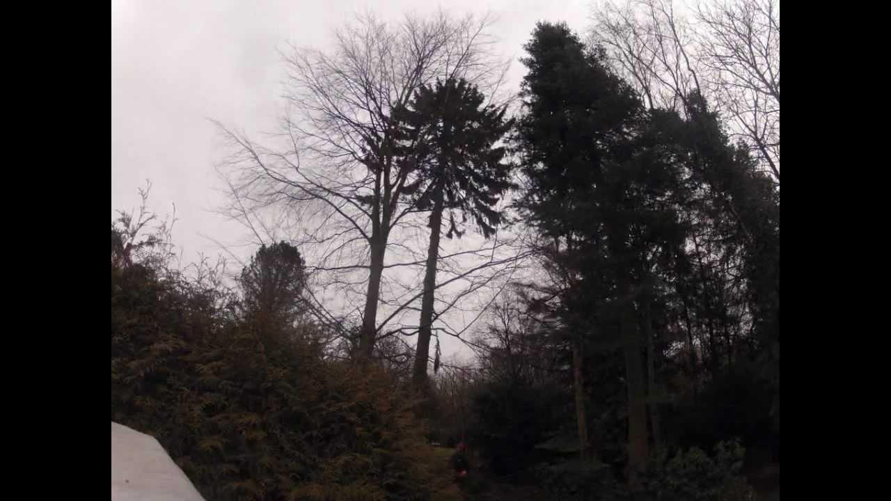 Klettergurt Baumpflege Test : Astrein baumpflege fällung einer fichte ohne steigeisen in kiel