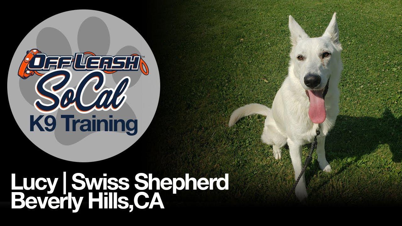 Lucy   Swiss Shepherd   Beverly Hills,CA