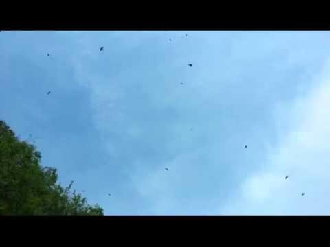 El baile de los cuervos.
