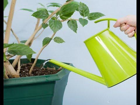 Что делать, если растение пострадало от неправильного полива. Как спасти залитое растение