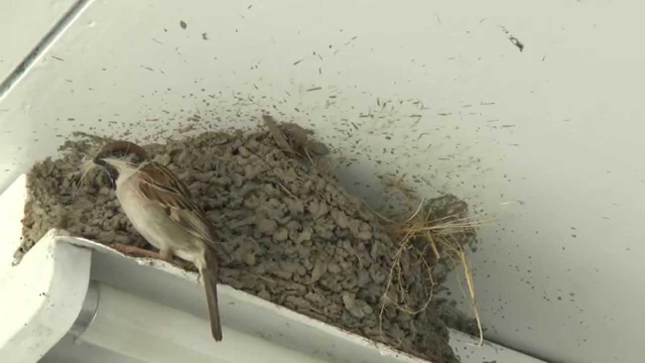 作り スズメ 巣