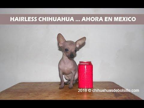 Hairless Chihuahua Mini Toy Ahora En Mexico Youtube