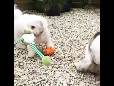 Cockapoo & Bichon Puppies!