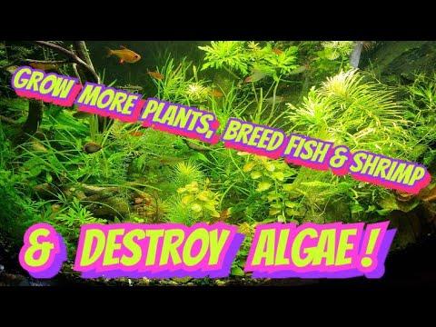 How to Get Rid of Algae in Your Aquarium + Growing Plants Fast - The Super Easy 2 Fishtank Solution