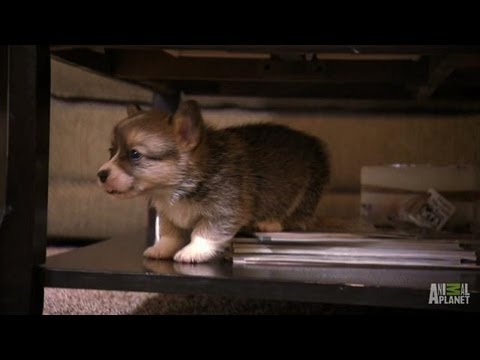 Corgi Pups Learn to Climb | Too Cute!