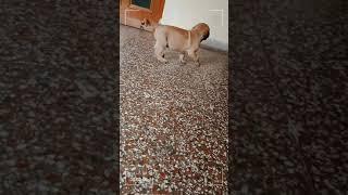 Breed : English mastiff