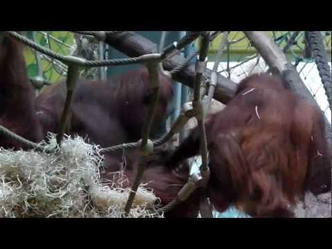 Kleiner Orangutan Jolie zwischen zwei Stühlen - Little Orang Utan Julie caught between two stools