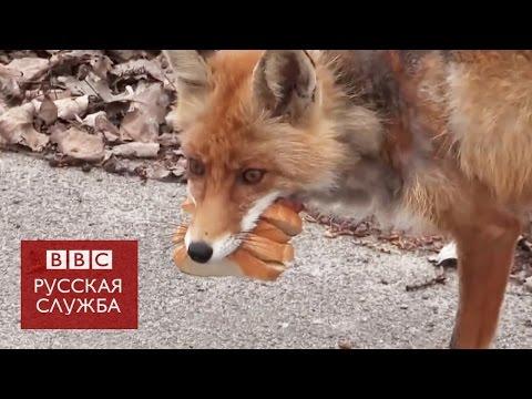 Лис из Чернобыля...