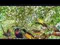 Suara Pikat Semua Jenis Burung Kecil Nyaring Dan Merdu  Mp3 - Mp4 Download