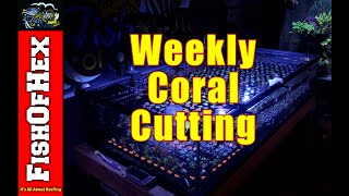 Weekly Coral Cutting Routine | In Home Coral Grow Out System