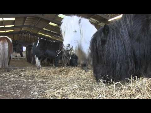 Rescued - A Family Herd Of Shetland Ponies