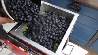 Le foulage du raisin, pour faire un bon jus de raisin.