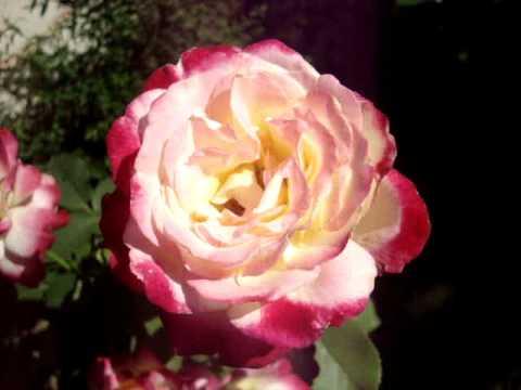 Дабл делайт - волшебная роза - три цвета в течение дня