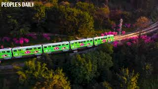 Light-rail trains travelling through a sea of Armeniaca mume flowers in SW China's Chongqing.