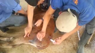 Papiloma virus en bovinos tratamiento Tratamiento de papilomatosis en caballos