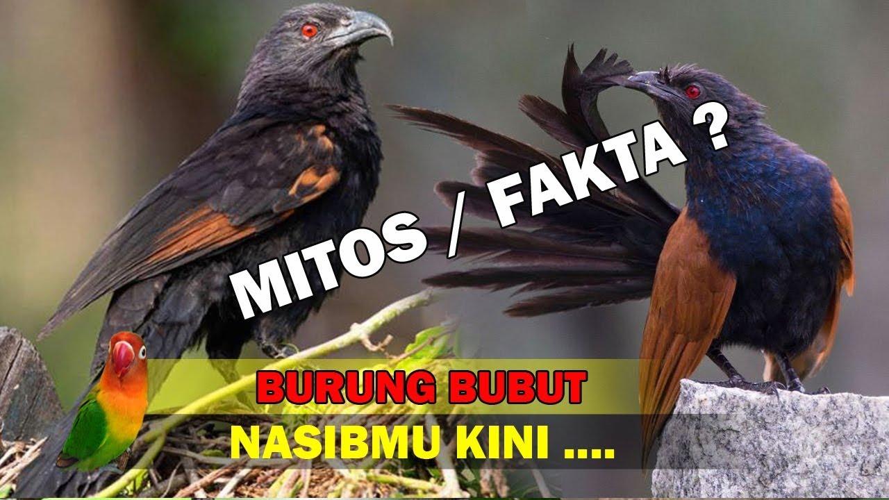Burung Bubut Bisa Ngobatin Flu Mitos Fakta Youtube