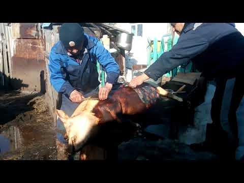 Рзделка свиньи в деревне\ поросёнка на мясо\КАК обсмалить\колим в сердце\март 2020