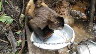 Pete the Monkey washing dishes thumbnail