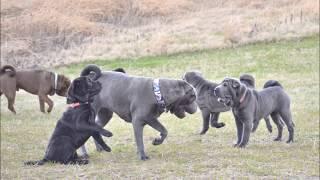めったに見られない 珍しい シャーペイ子犬の遊ぶ可愛いらしいすがた。...