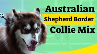 Australian Shepherd Border Collie Mix In Depth