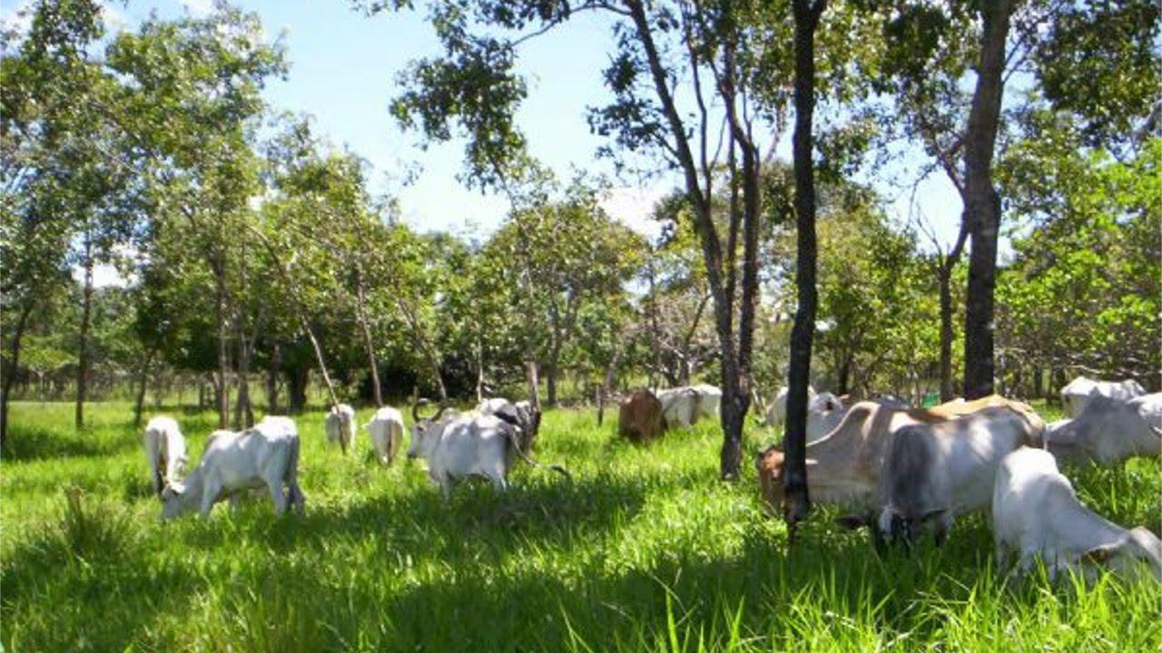 Resultado de imagem para gado pastando pastejo