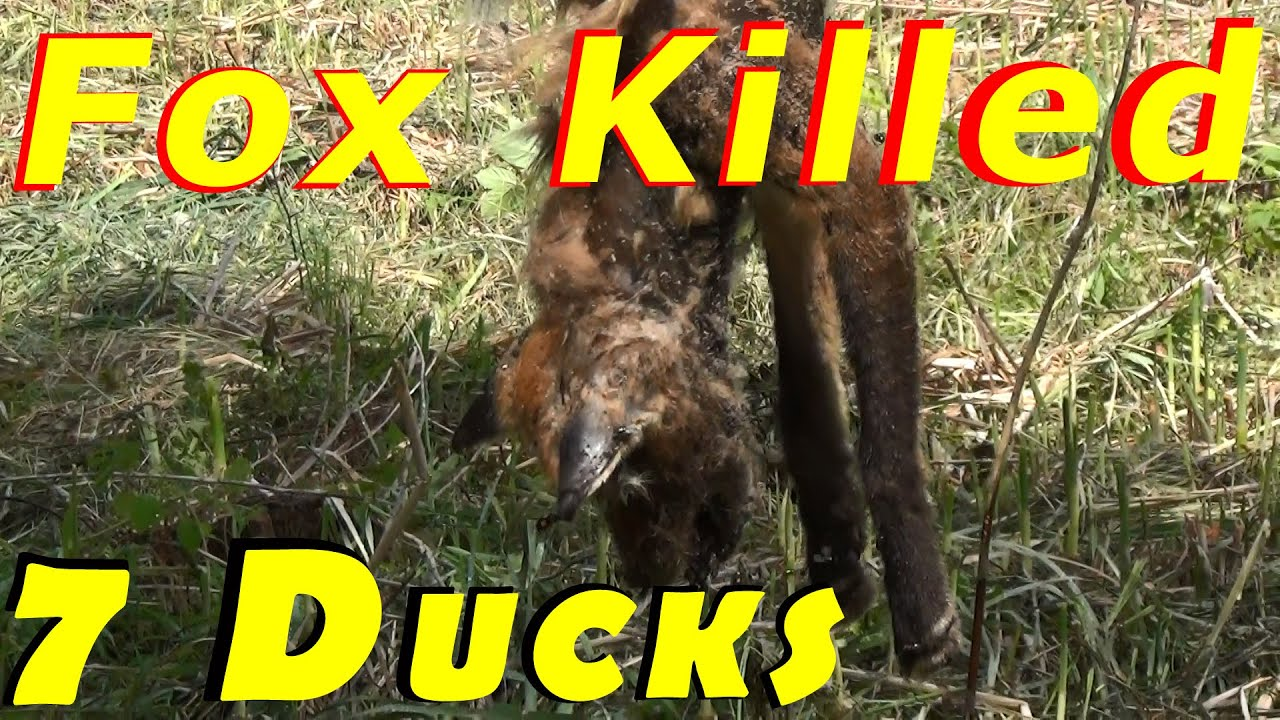 fox kills 7 of my ducks i killed the fox 62 hatching ducklings