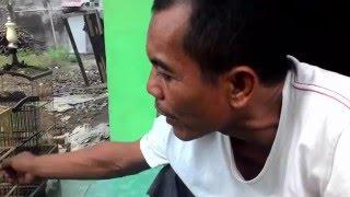 Rahasia Sukses Profile Peternak Pleci Dakun - Pleci Maput Muria - Pleci Merapi - Mahar Sadewa