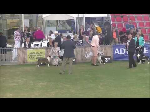 Miniature Bull Terrier Sydney Royal Dog Show 2019