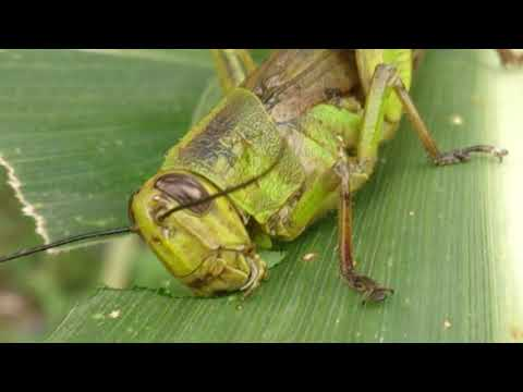 Grasshoppers are eating corn in the garden area in Aceh