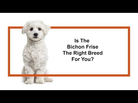 Is the Bichon Frise the right breed for you?